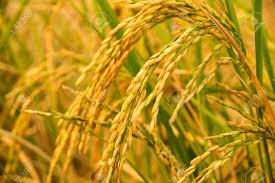 India's rice exports fall sharply as sanctions delay payments from Iran